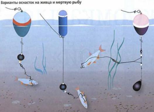 Выбор снастей и ловля на живца поплавочной удочкой
